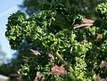 Pelargonium graveolens Bontrosai.jpg
