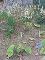 Pelargonium oblongatum1.jpg
