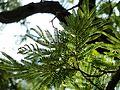 Peltophorum africanum, loof, Zoutpan.jpg