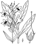 Penstemon tubiflorus BB-1913.png