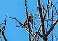 Peregrine falcon in Prospect Park (62802).jpg