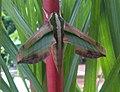 Pergesa acteus (Thailand, Nonthaburi, Bang Bua Thong, Soi Mu Ban Bua Thong 4, 17.ix .2014) (D. Kruger) adult.jpg
