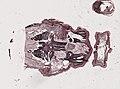 Periplaneta americana (YPM IZ 098956) 016.jpeg