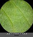 Persicaria lapathifolia subsp. brittingeri sl8.jpg