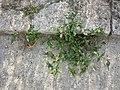 Persicaria maculosa sl1.jpg