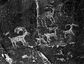 Petroglyphs of bighorn sheep in Petroglyph Canyon. ; ZION Museum and Archives Image ZION 9085 ; ZION 9085 (47956c8df0d6403183f8cc7855662c00).jpg