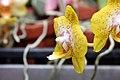 Phalaenopsis Brother Pepride x Phalaenopsis (Kelsie Takasaki x Brother Lawrence) 1zz.jpg