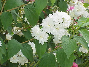 Falscher Jasmin (Philadelphus × virginalis)