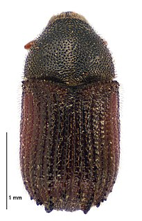 <i>Phloeosinus</i> Genus of beetles