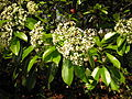 Photinia serratifolia 6.JPG