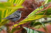 Phylloscopus inornatus (Yellow-browed Warbler).jpg