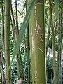 Phyllostachys nigra var henonis 2.jpg