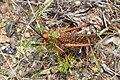Phymateus leprosus ssp. leprosus (Pyrgomorphidae) – male (36890035263).jpg