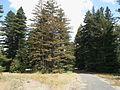Pialligo Redwood Forest view south.jpg
