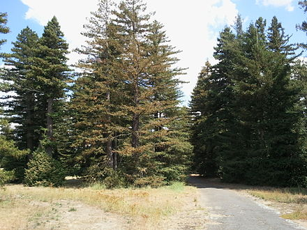 Forest of Redwood (Sequoia sempervirens and Sequoiadendron giganteum), planted in 1918, Pialligo Avenue. Pialligo Redwood Forest view south.jpg