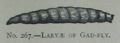 Picture Natural History - No 267 - Larvae of Gad-fly.png