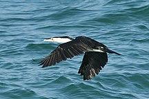 Freycinet Island--Pied Cormorant
