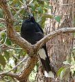 Pied Currawong.Strepera graculina - Flickr - gailhampshire (1).jpg
