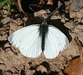Pieris napi (Green-veined White) - male - Flickr - S. Rae (1).jpg