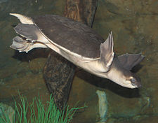 Pig-Nosed Turtle Carettochelys insculpta Diving 2260px.jpg