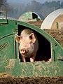 Pig in Cawston, Norfolk - geograph.org.uk - 636515.jpg