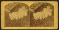 Pigs, by Kilburn Brothers 3.png