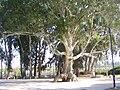 PikiWiki Israel 10104 eucalyptus in or-akiva.jpg