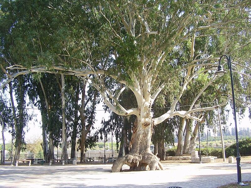 אקליפטוס ענק בפארק האקליפטוס באור עקיבא