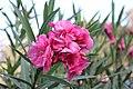Pink Flower. Alex 006.JPG