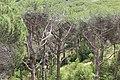 Pins del Parc Forestal de Mataró.jpg