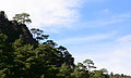 Pinus brutia - Turkish pine 04.JPG