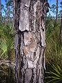 Pinus elliottii bark.JPG