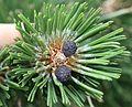 Pinus heldreichii (immature female cones) - Flickr - S. Rae.jpg