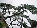 Pinus hwangshanensis Lushan 6.jpg