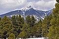 Pinus ponderosa Peakview.jpg