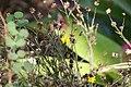 Pityopsis graminifolia 11zz.jpg