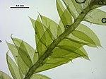 Plagiothecium laetum (a, 144731-481647) 1990.JPG