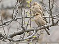 Plain Mountain Finch (Leucosticte nemoricola) (48553476402).jpg