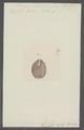 Planaria bilobata - - Print - Iconographia Zoologica - Special Collections University of Amsterdam - UBAINV0274 105 09 0006.tif