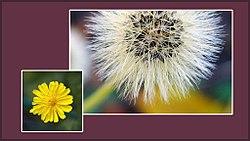 Plant-Hieracium pilosella-Muizenoor.jpg
