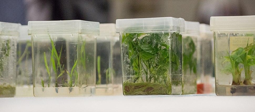 Plant tissue cultures, National Center for Genetic Resources Preservation, USDA
