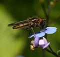 Platycheirus.manicatus male.jpg