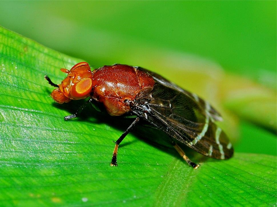 Platystomatid Fly (Peltacanthina sp.) (18107194758)