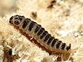 Pleasing Fungus Beetle Larva (28519342833).jpg