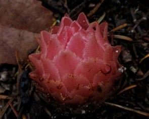 Pleuricospora fimbriolata (Fringed Pinesap).jpg