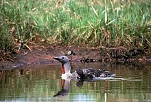 Small fuzzy black chick floats beside a larger bird on calm water with a muddy bank and tall grass in the background