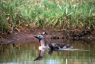 Red-throated loon - Chicks are competent swimmers, able to accompany their parents soon after hatching.