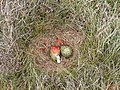 Plundered Curlew nest - geograph.org.uk - 380270.jpg
