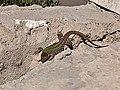 Podarcis siculus in Italy 01.jpg