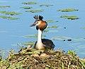Podiceps cristatus Чемга на Хиттоловском озере под Санкт-Петербургом 07.jpg